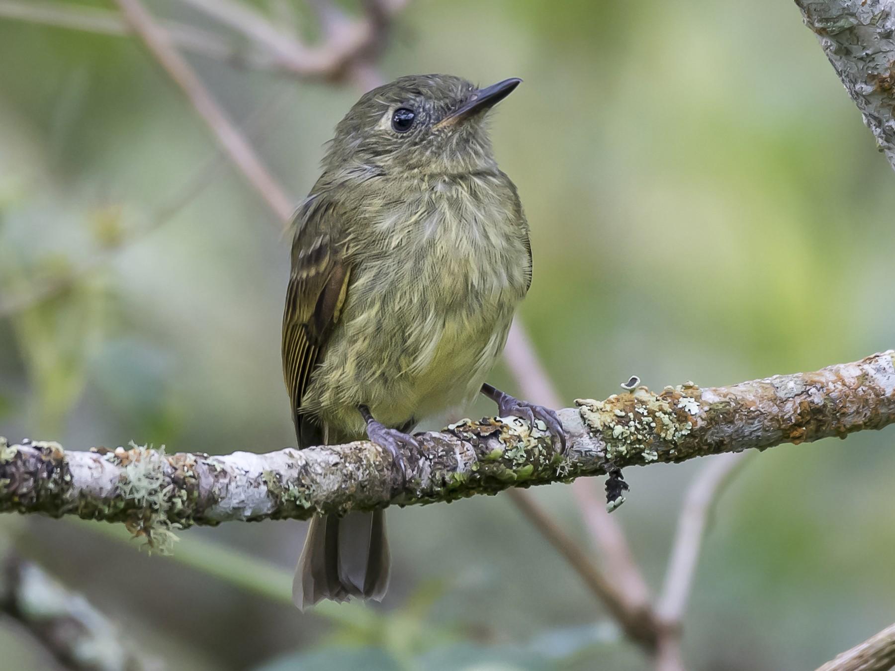 Olive-striped Flycatcher - fernando Burgalin Sequeria