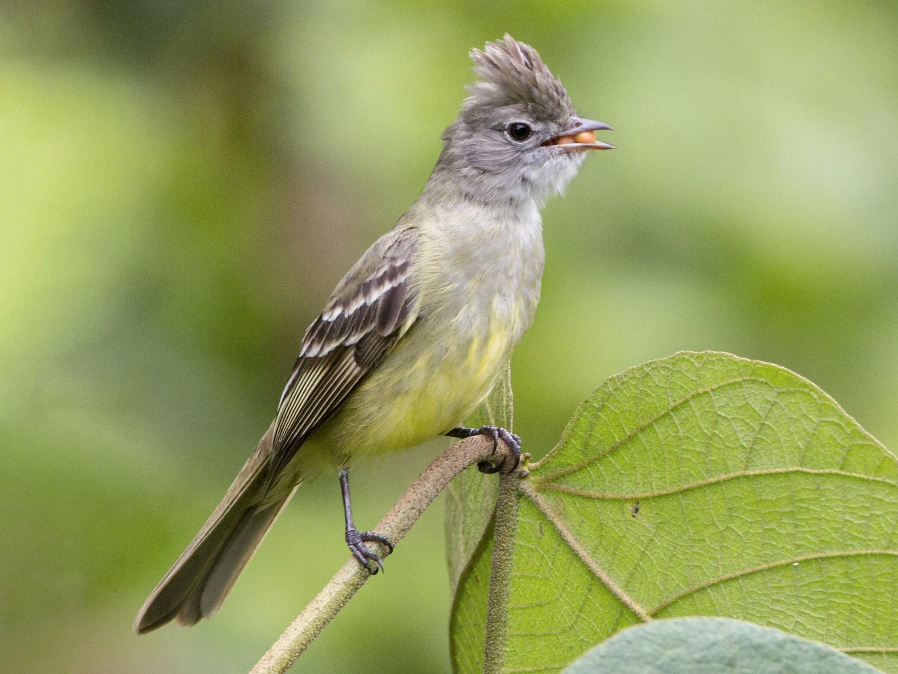 Yellow-bellied Elaenia - Pepe Castiblanco