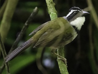 - Caracas Brushfinch