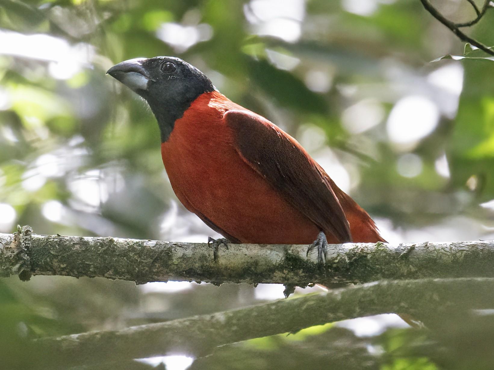Red-and-black Grosbeak - Nick Athanas