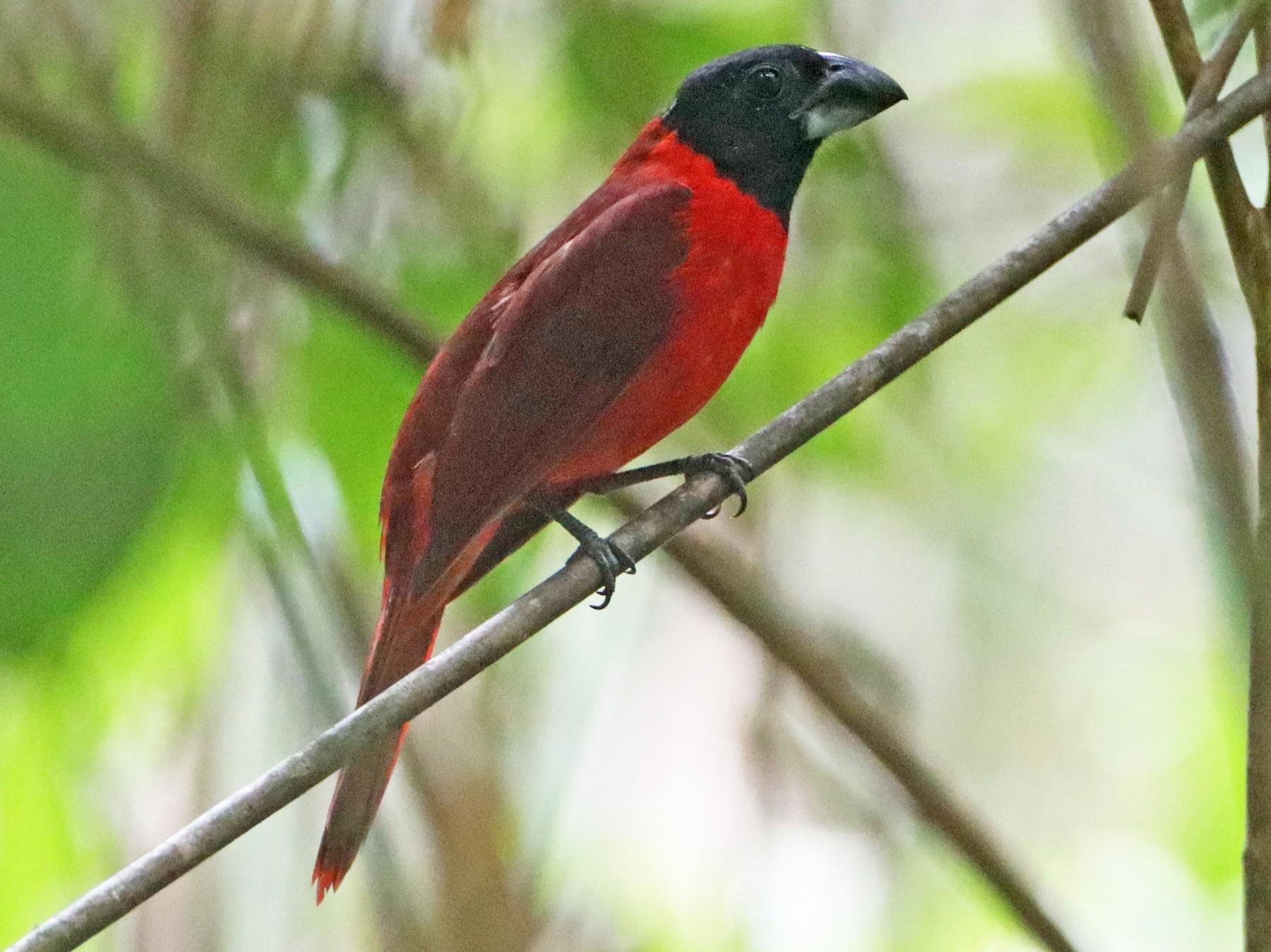 Red-and-black Grosbeak - Luke Seitz