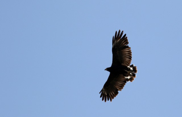 Common Black Hawk (Common)