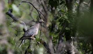 Band-tailed Pigeon, ML32271281