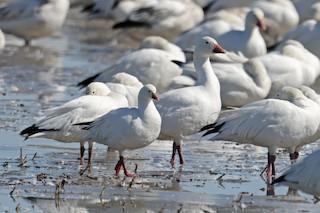 Ross's Goose, ML322740361
