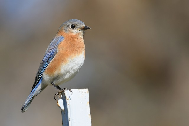Eastern Bluebird ML323197051