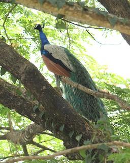 Indian Peafowl, ML323227631