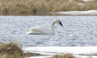 Tundra Swan (Whistling), ML32342681