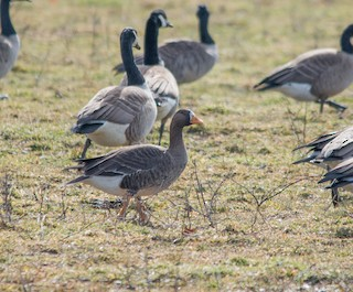 Greater White-fronted Goose, ML32384731