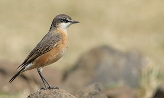 - Red-breasted Wheatear