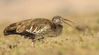 - Wattled Ibis