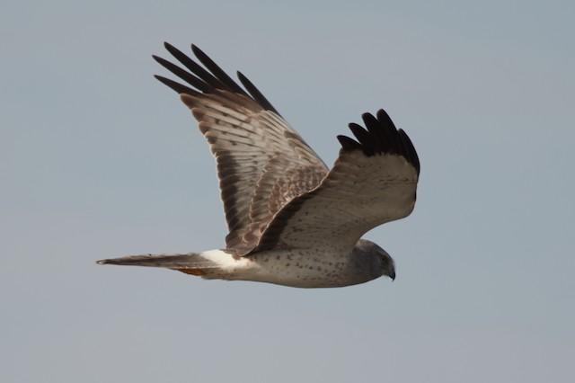 ©Ivan Wiljanen - Northern Harrier