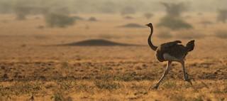 Somali Ostrich, ML32400731
