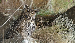 - Cape Eagle-Owl
