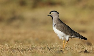 - Spot-breasted Lapwing