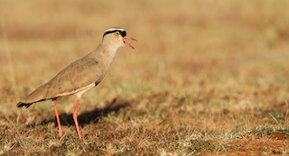 - Crowned Lapwing