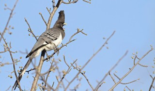 - White-bellied Go-away-bird