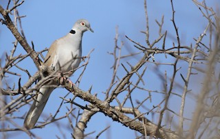 - White-winged Collared-Dove