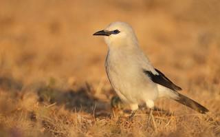 - Stresemann's Bush-Crow