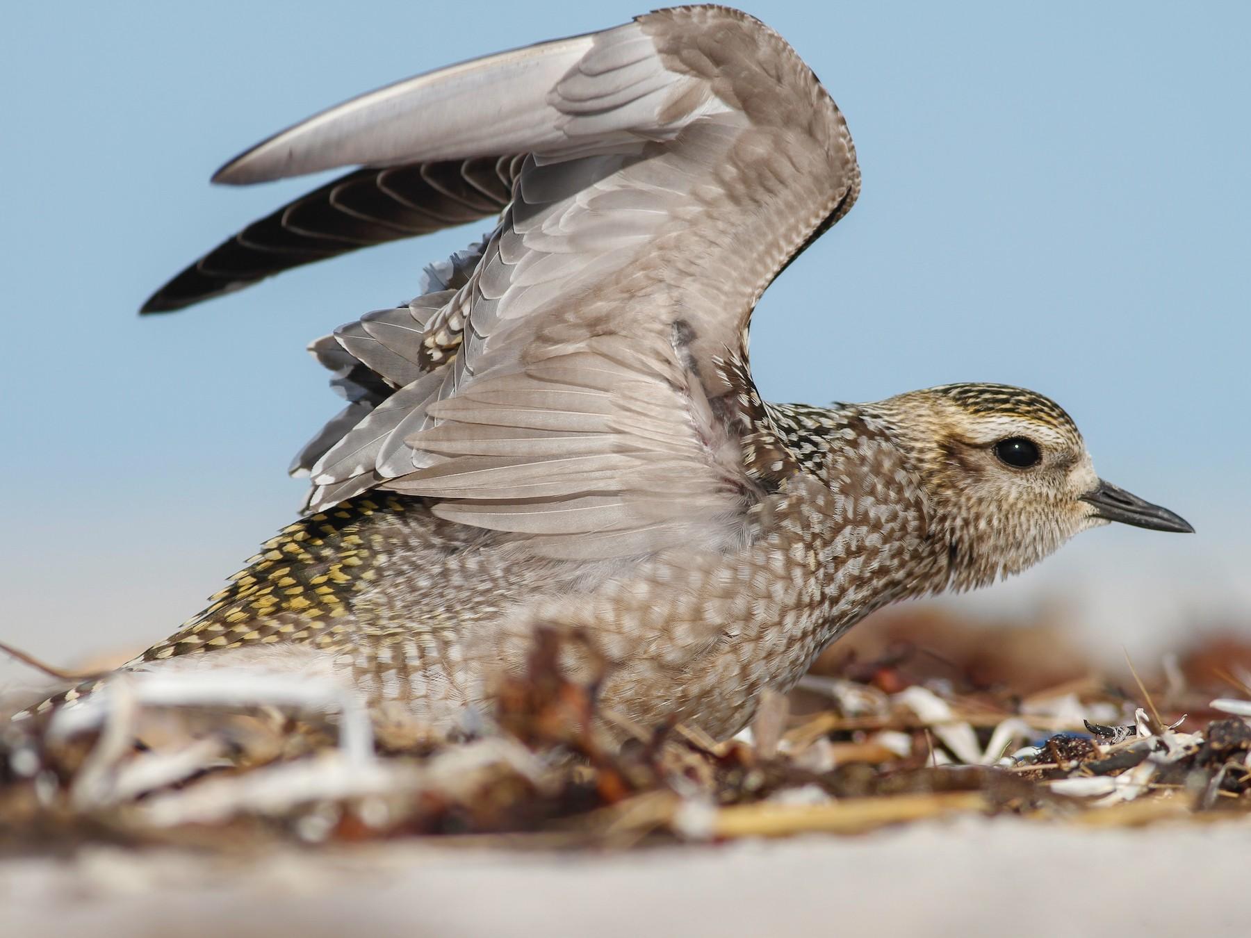 American Golden-Plover - Davey Walters