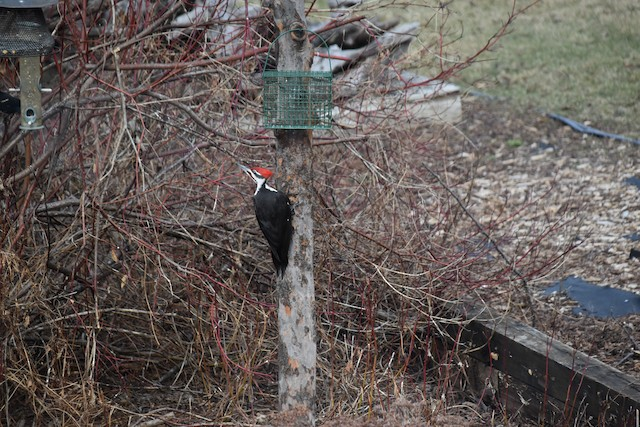 ©Thomas Noren - Pileated Woodpecker