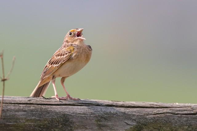 Grasshopper Sparrow ML324224131