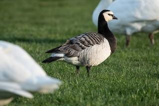 Barnacle Goose, ML324387241