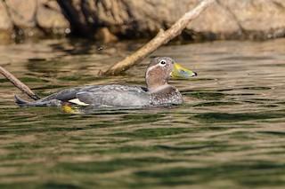 Flying Steamer-Duck, ML324438641