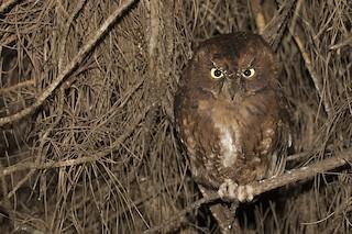 - Malagasy Scops-Owl