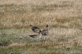 Greater White-fronted Goose, ML324551491