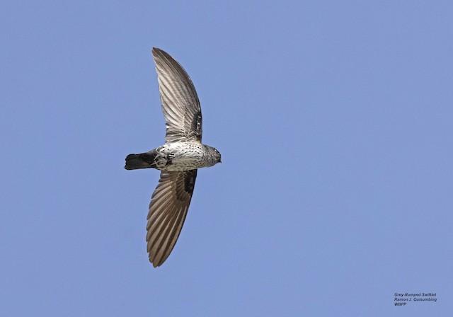 Gray-rumped Swiftlet