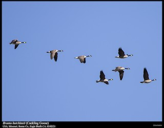 Cackling Goose (Richardson's), ML324851261
