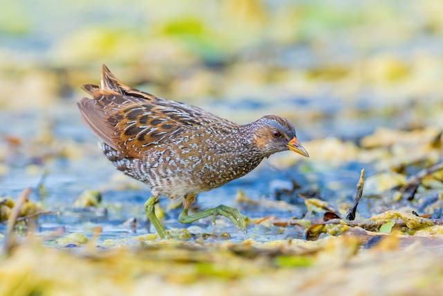 Spotted Crake ML325089051