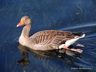 Graylag Goose, ML325126661