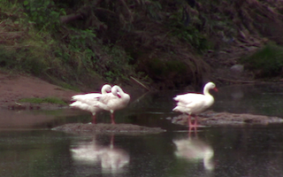 Coscoroba Swan, ML325183811