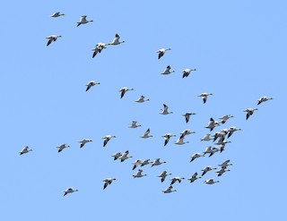 Snow Goose, ML325381671