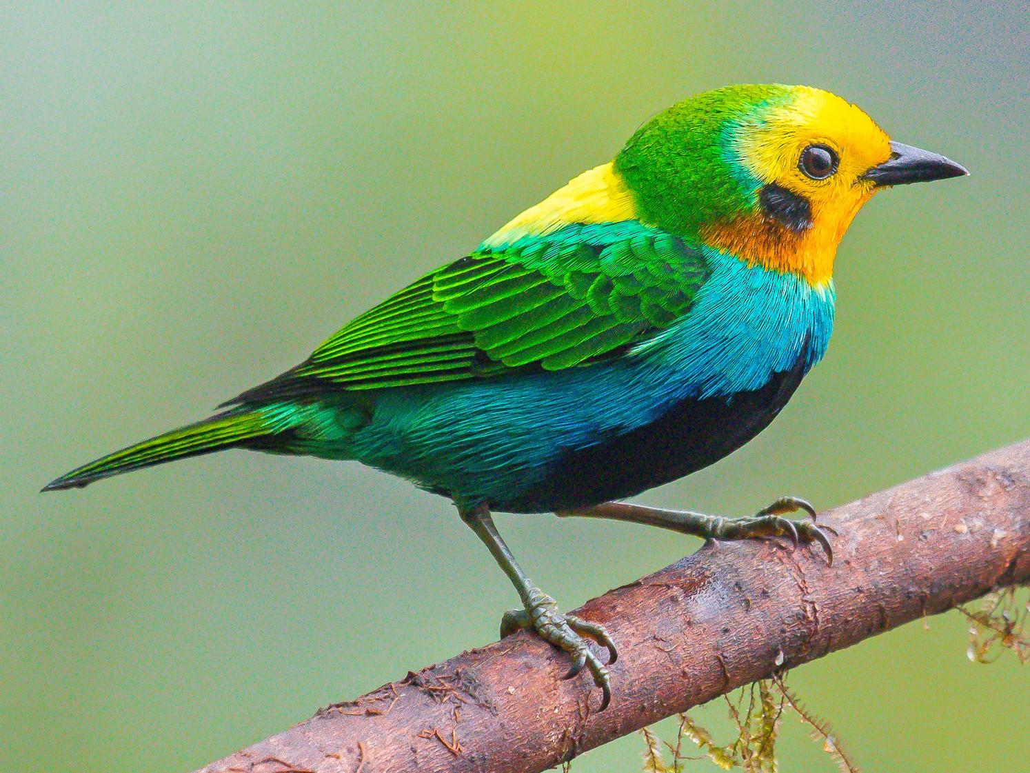 Multicolored Tanager - David Monroy Rengifo