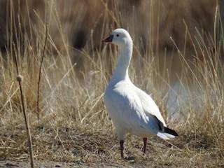 Ross's Goose, ML325537151