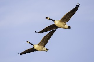 Canada Goose, ML325573691
