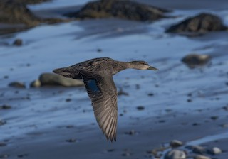 American Black Duck, ML325677571