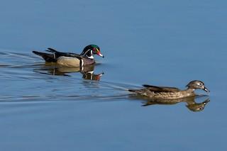 Wood Duck, ML325751531