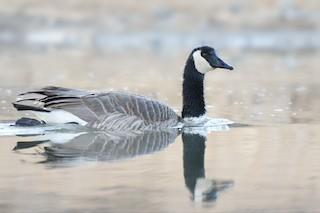Canada Goose, ML325779221