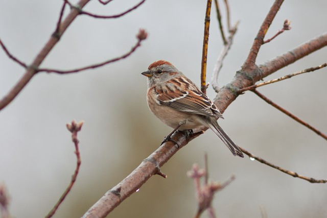©Ivan Wiljanen - American Tree Sparrow