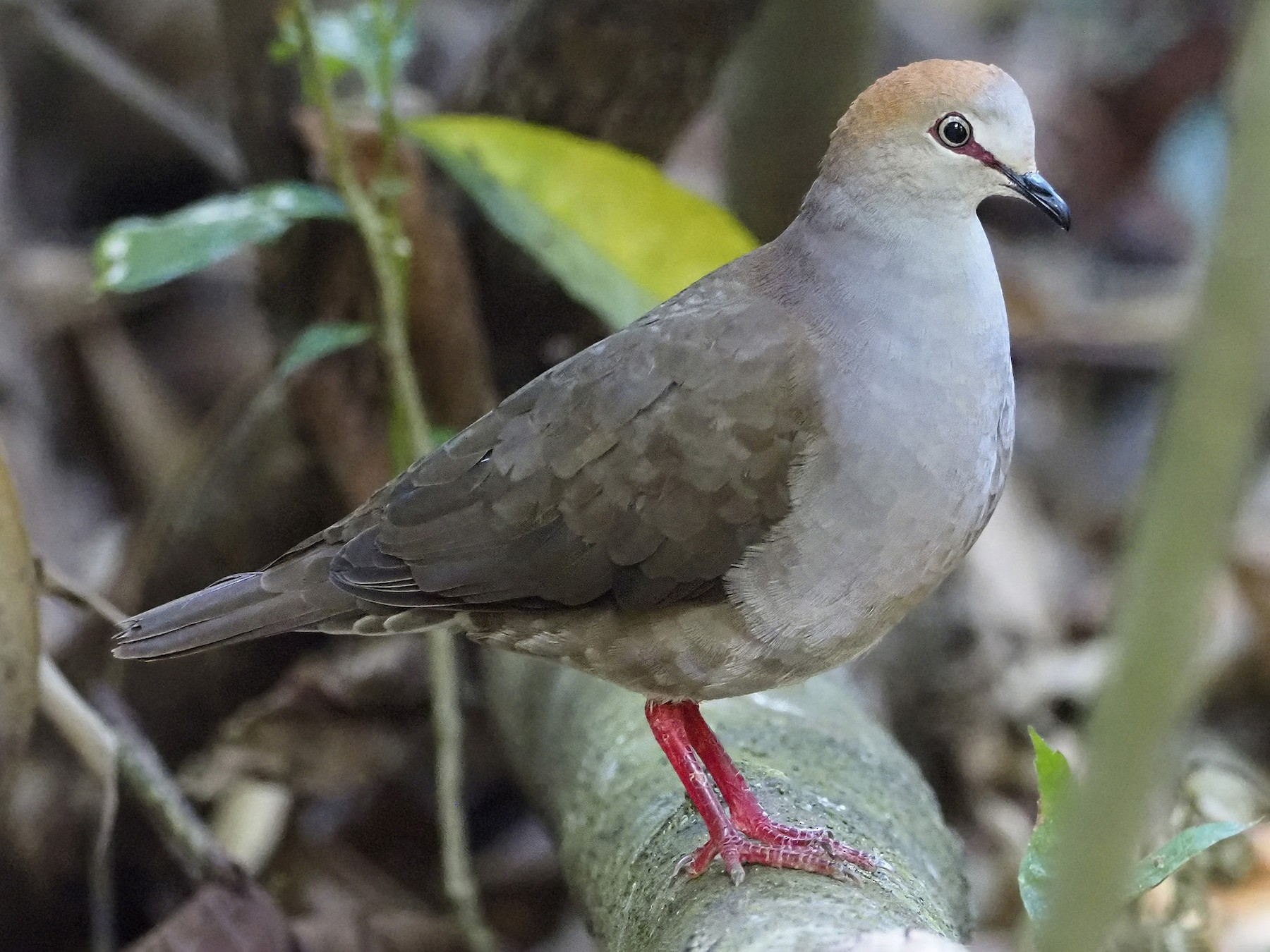 Gray-chested Dove - Manolo Arribas