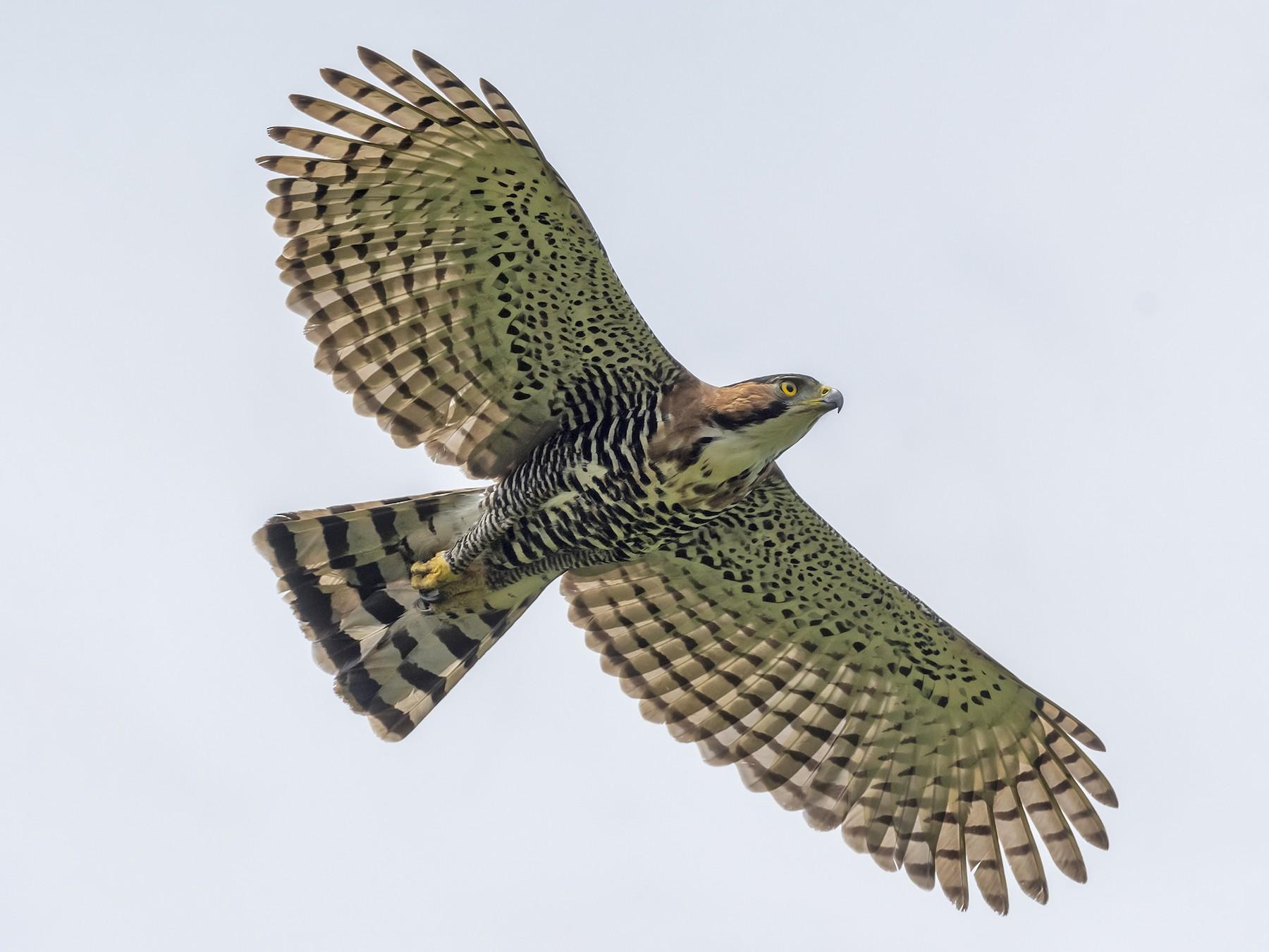 Ornate Hawk-Eagle - fernando Burgalin Sequeria