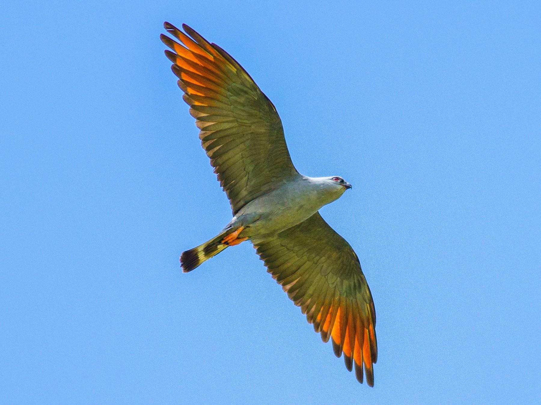 Plumbeous Kite - Roni Martinez