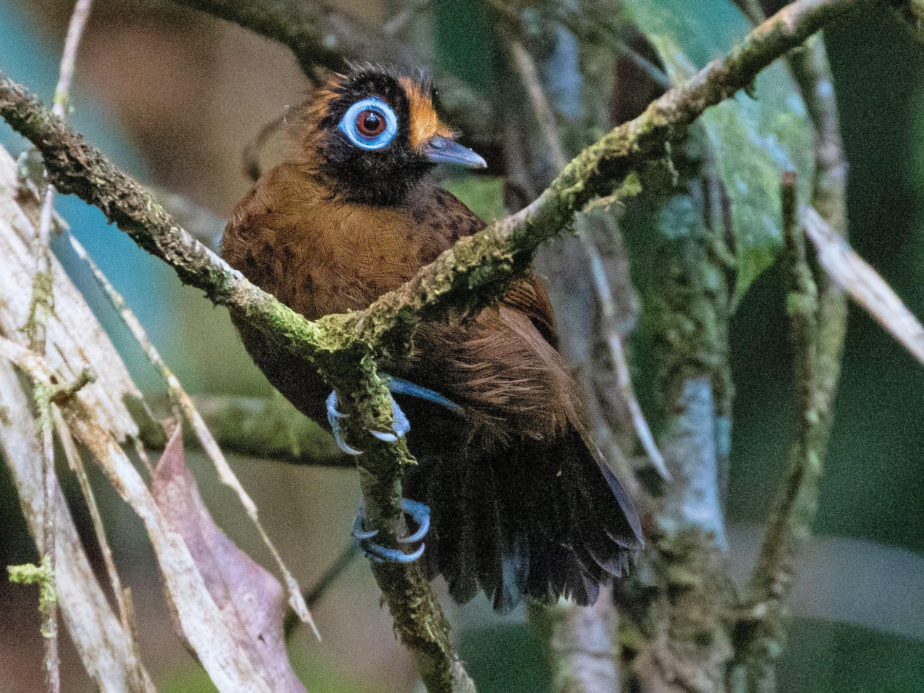Hairy-crested Antbird - Thibaud Aronson
