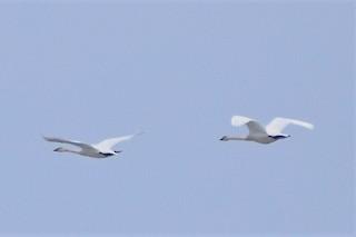 Trumpeter Swan, ML326444011