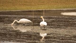 Whooper Swan, ML326551941