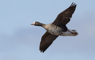 Greater White-fronted Goose, ML326632191