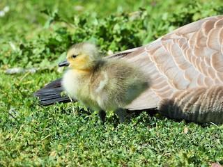 Canada Goose, ML326736721